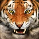 1367367475_tiger small